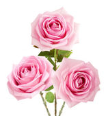 Bunch of rosy roses isolated on white — Stock Photo