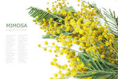 Mimosa flowers branch isolated on white background with sample text — Stockfoto