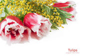 Tulips and mimosa flowers bunch isolated in white background with sample text — Stock Photo