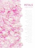 Pink rose petals isolated on white background with sample text — Foto de Stock