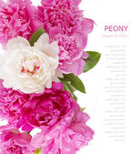 Peony flowers background isolated on white with sample text — Stock Photo