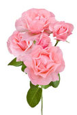 Pink roses branch isolated on white background — Stock Photo