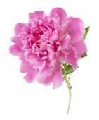Pioenroos bloem close-up geïsoleerd op witte achtergrond — Stockfoto