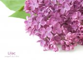 Lilac flowers bunch isolated on white background with sample text — Stock Photo