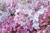 Lilac flower background — Stock Photo