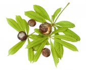 Chestnuts with fresh green leaves isolated on white — Stock Photo