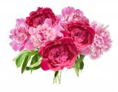 Peony bunch isolated on white background — Stock Photo