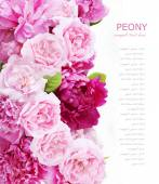 牡丹と薔薇の背景が白で隔離 — ストック写真