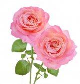 Manojo de rosas aisladas sobre fondo blanco — Foto de Stock
