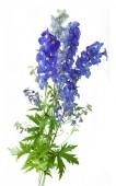 Bluebells background — Stock Photo
