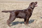 Chocolate labrador retriever, age 7.0 months. — Stock Photo