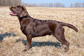 Chocolate labrador retriever puppy (age 7,0 months). — Stock Photo