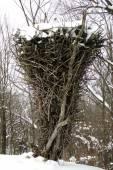 Largest Bald Eagle Nest — Stock Photo