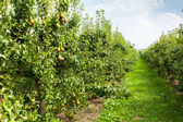 Pear trees laden with fruit — Stock Photo