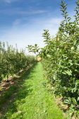 Apple trees loaded with apples — Stock Photo