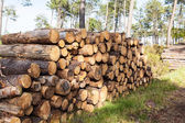 Pile of pine tree trunks — Stock Photo