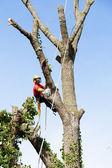 Arborist cutting a tree — Stock Photo