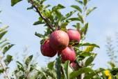 Macieiras carregadas com maçãs — Fotografia Stock