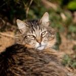 Tabby cat main coon — Stock Photo #63143893