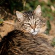 Tabby cat main coon — Stock Photo #64847609
