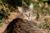 Tabby cat main coon — Stock Photo