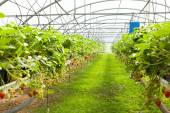 Culture in Greenhouse  strawberries — Stock Photo
