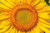 Central part of sunflower closeup — Stock Photo