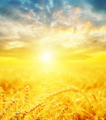 Good sunset and golden harvest — Stock Photo