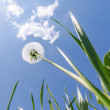White dandelion in green grass under blue sky with clouds — Stock Photo #60943117