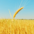 Golden wheat ears on field and blue sky as background — Stock Photo #65266317