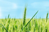 Green cereal plant under deep blue sky — Stock Photo
