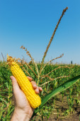Maize in hand over green field — Stock Photo