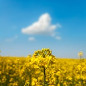 Field of flower rapeseed under blue cloudy sky — Stock Photo