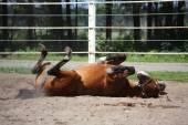 Bruin paard rollen op de grond — Stockfoto