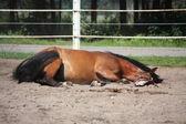 Коричневый конь прокатки на земле — Стоковое фото