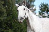 Gray horse portrait — Stock Photo