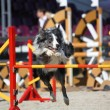 Cute gray and black border collie jumping over the barrier — Stock Photo #52111267