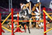 Cute gray and black border collie jumping over the barrier — Stock Photo