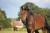 Brown horse portrait at the field in summer — Stock Photo