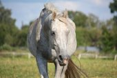 White horse portrait at the grazing — Stock Photo