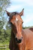 Cute bay foal portraity in summer — Foto Stock