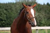 Bay horse with bridle portrait in summer — Stock Photo