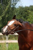 Bay horse with bridle funny portrait in summer — Stock Photo
