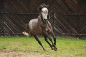 Gray horse galloping at the field — Stock Photo