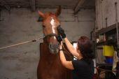 Donna brunetta toelettatura cavallo marrone per l'equitazione — Foto Stock