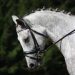 Gray sport horse portrait — Stock Photo #55408817