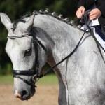 Gray sport horse portrait — Stock Photo #55408929