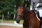 Bay sport horse portrait — Stock Photo