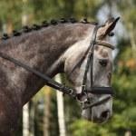 Gray sport horse portrait — Stock Photo #55806669