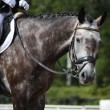 Gray sport horse portrait — Stock Photo #55806747